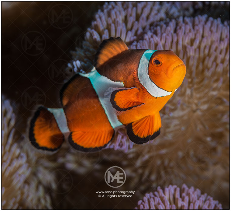 Clownfish by Arno Enzerink
