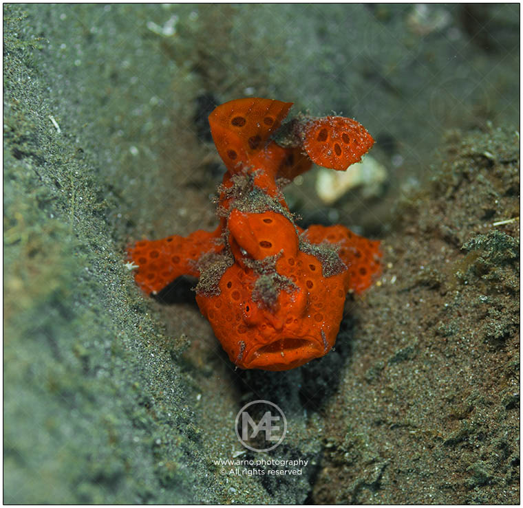 Painted frogfish by Arno Enzerink