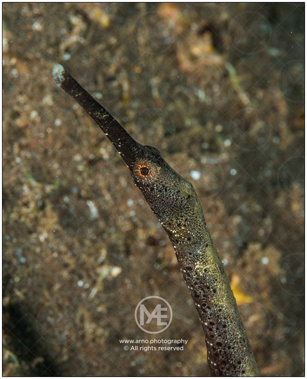 Double-ended pipefish by Arno Enzerink