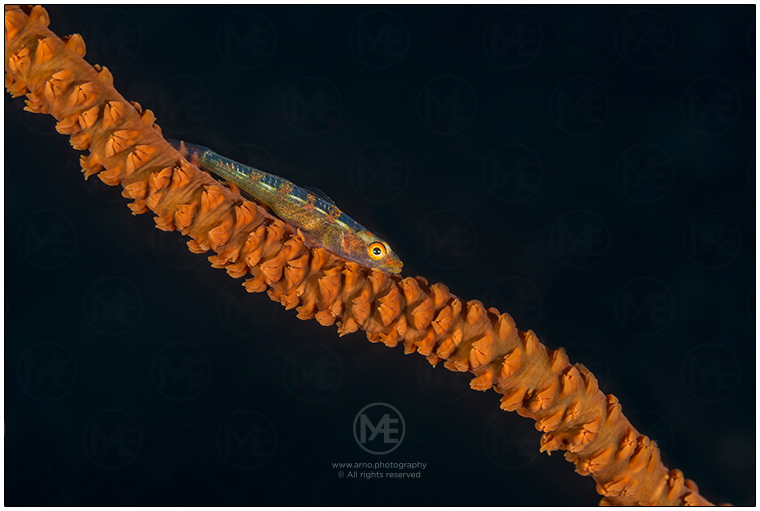 Whip coral goby by Arno Enzerink