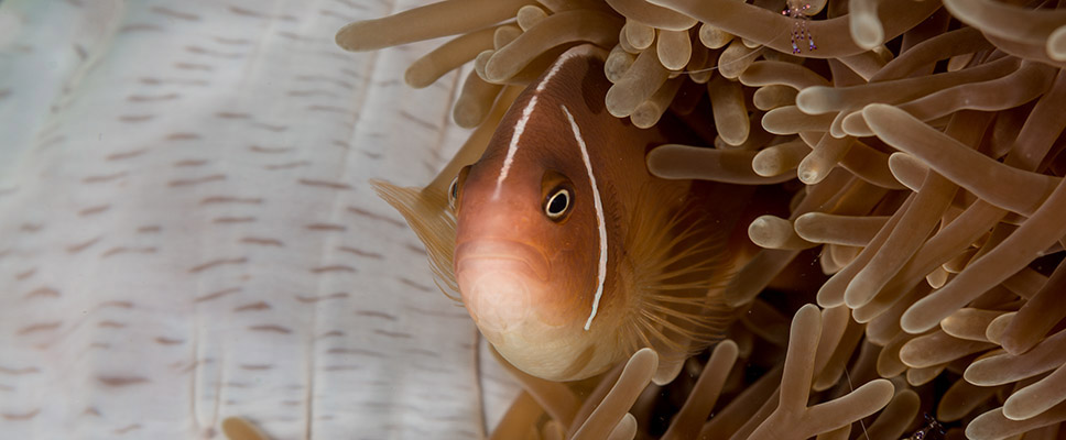 Underwater photography with Arno Enzerink - orange anemonefish