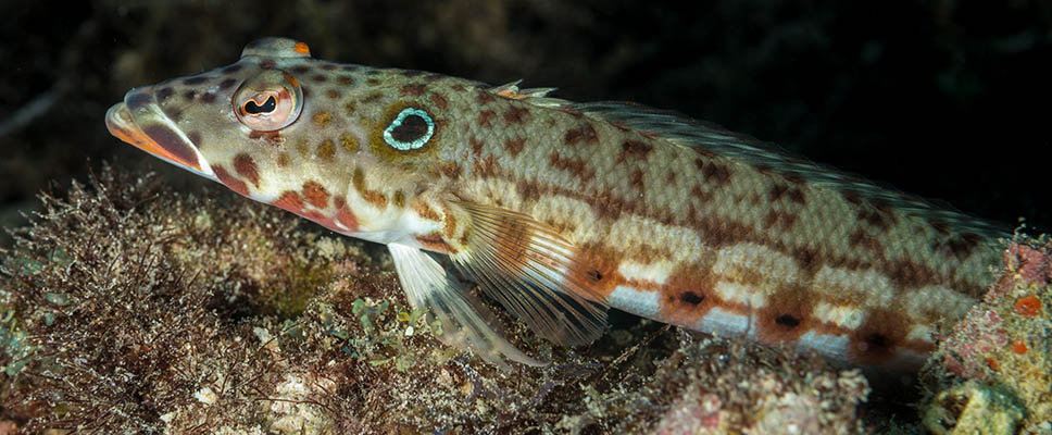 Underwater photography with Arno Enzerink - reef lizardfish