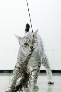 Silver spotted Egyptian Mau