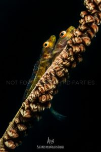 Two whip coral gobies