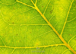 Veins in a green leaf